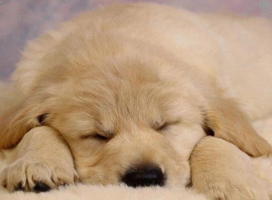Дирофиляриоз собак
